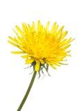 dandelion officinale taraxacum Fotografia Royalty Free
