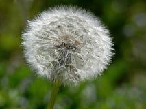 dandelion officinalis taraxum Zdjęcia Royalty Free