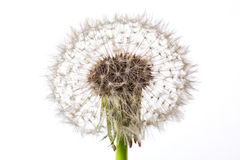 Dandelion. One fluffy dandelion with seeds on white background Royalty Free Stock Photo