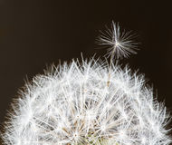 A dandelion with one inflorescence on the top Stock Photos