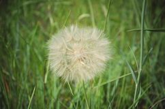 Dandelion. One large beautiful open dandelion opened against a background of green grass Royalty Free Stock Photos