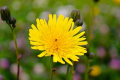 Summer flowers and here you have dandelion royalty free stock photo