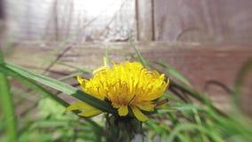 Dandelion opening its blossom - timelapse. Dandelion opening its blossom - 4k timelapse stock footage