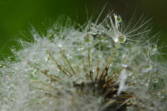 dandelion opuszcza macro wodę Obrazy Stock