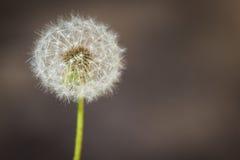 Dandelion ordinary lat. Taráxacum officinále. A lone dandelion on a brown background Royalty Free Stock Image