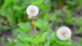 Dandelion ordinary in meadow stock footage