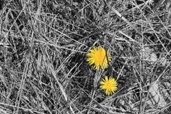 Dandelion otaczający suchej trawy częścią barwiącą Obraz Stock