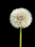 Dandelion over black Stock Photography