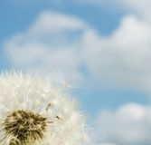 Dandelion over blue sky Stock Photography