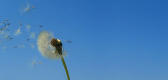 Dandelion over blue sky wide. Dandelion seeds blown by wind over blu sky, wide horizontal royalty free stock photos