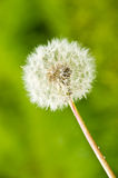 Dandelion over green background Royalty Free Stock Image