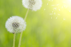 Dandelion over green background Stock Images