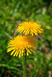 Dandelion over green grass Royalty Free Stock Images