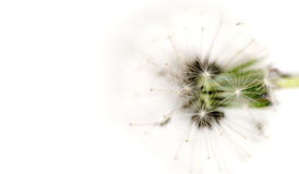 Dandelion over white Royalty Free Stock Image