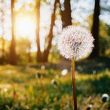 Dandelion paired to sunny weather