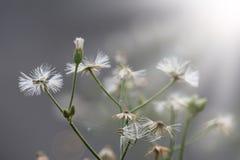 Dandelion, pająk sieć i miękki światło, Zdjęcie Stock