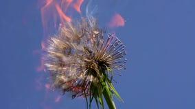 Dandelion Pali Podczas ogienia zbiory