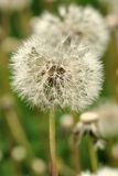 Dandelion. (pappus) wetted by dew Stock Images