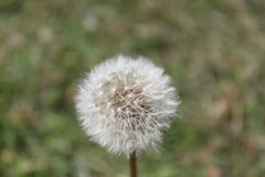 Dandelion parachute ball Royalty Free Stock Images