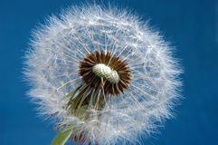 Dandelion parachute ball Royalty Free Stock Photo