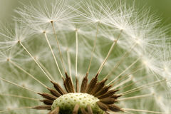 Dandelion parachute ball Royalty Free Stock Photos