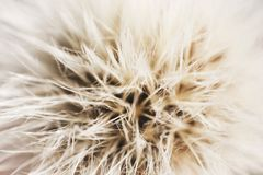Dandelion with parachutes close-up. background . Royalty Free Stock Images