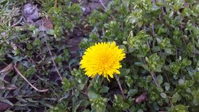 Dandelion. In the park on 1st day of spring Stock Images