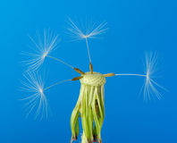 Dandelion with partial seeds Royalty Free Stock Image