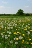 Dandelion in a pasture Stock Photography