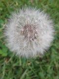 Dandelion pełno sen Zdjęcie Stock