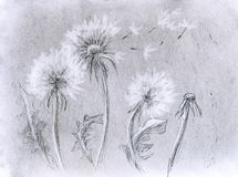 Dandelion pencil artwork Stock Image