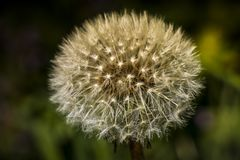 Dandelion a perfect weed?. Dandelion, for some weeds for others a beautiful flower. A dandelion flower head composed of numerous small florets royalty free stock image