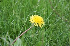 Dandelion. Pesky Yellow Dandelion Weeds - live and growing in garden royalty free stock photography