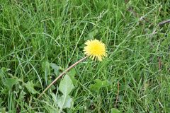 Dandelion. Pesky Yellow Dandelion Weeds - live and growing in garden royalty free stock images