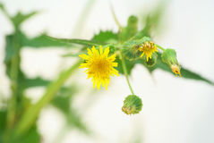 Dandelion. Stock Photography