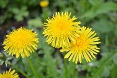 Dandelion. Photo of the dandelion - bright yellow flower Stock Photo
