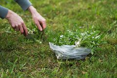 Picking dandelion with knife royalty free stock photography