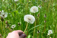 Dandelion. Picking up a dandelion as as concept for spring and other stuff Stock Photos