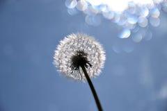 Dandelion /Pissenlit Zdjęcie Stock