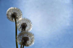 Dandelion/Pissenlit Stock Images