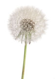 Dandelion plant Stock Photos