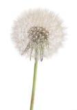 Dandelion plant. Dandelion flower plant closeup isolated on white stock photos