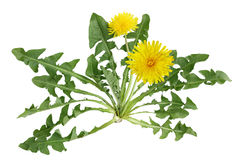 Dandelion plant Stock Photography