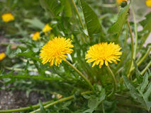 Dandelion plant blooms in spring Stock Photography