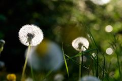 Dandelion plant close up. With a blurred background stock image