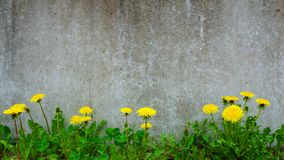 Dandelion plant growing at concrete wall - Survivor Environment Concept Royalty Free Stock Photos