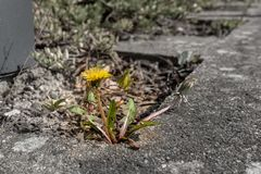 dandelion plant grows between pavement slabs stock photo