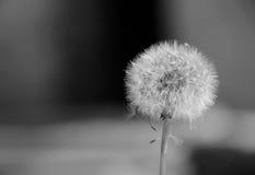Dandelion plant i Stock Photo