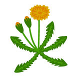 Dandelion plant illustration Stock Photos