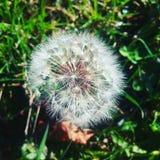 Dandelion plant Stock Photo